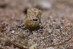 BD-151224-Dauin-9744-Bothus-pantherinus-(Rüppell.-1830)-[Leopard-flounder].jpg